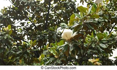 Beautiful white magnolia flower on a tree in a city street. 4k