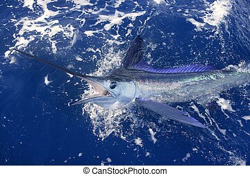 Beautiful white marlin real billfish sport fishing - ...
