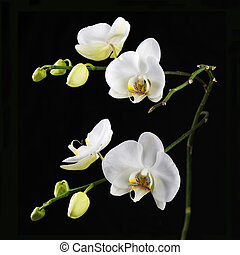 Beautiful white orchid branch on black background.