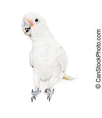 Beautiful white parrot bird isolated