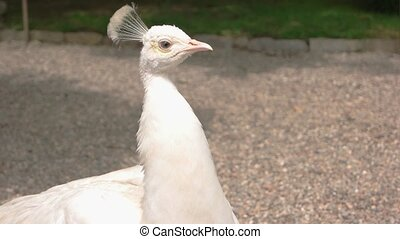 Beautiful white peacock. Exotic bird with long neck. How...