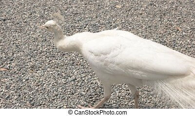 Beautiful white peafowl. Bird walking on stones.