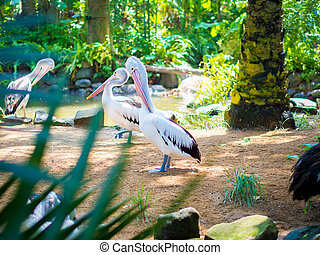 Beautiful White Pelican