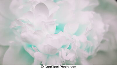 Beautiful white Peony background. Blooming peony flower open, time lapse, close-up. Wedding backdrop, Valentine's Day concept. 4K UHD video timelapse