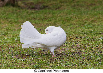 Beautiful white pigeon on the grass background