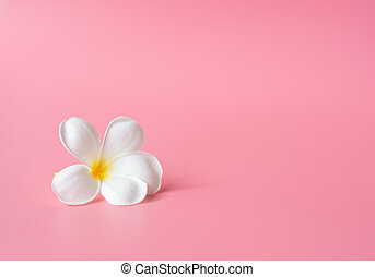 Beautiful white Plumeria flower on pink background