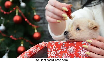 beautiful white puppy in holiday spirit surrounded by New Year's decoration