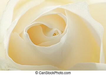 Beautiful white rose background
