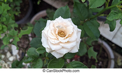 Beautiful white rose. close up white rose in a garden