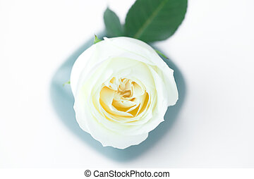 beautiful white rose in a vase