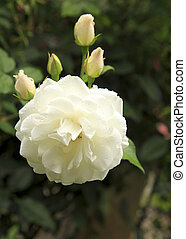 Beautiful white rose in garden after rain.