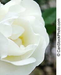 Beautiful white rose on the flower bed