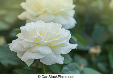Beautiful white rose. White roses are growing