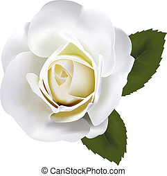 Beautiful white rose with green leaves. Vector.