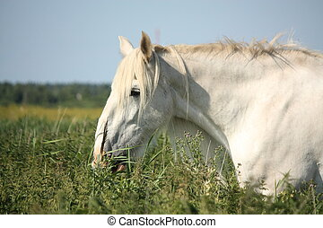 Beautiful white shire horse portrait in rural area -...