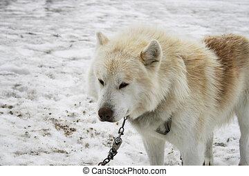Beautiful white sled dog on glacier