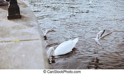 Beautiful white swan and seagulls near embankment. 4K....