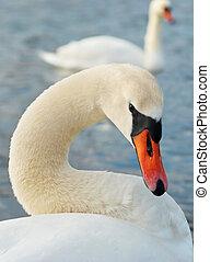 Beautiful white swan.