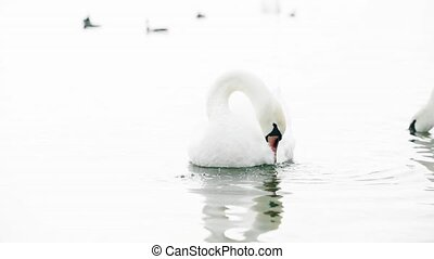Beautiful white swan cleaning feathers and swim in the crystal clean water.