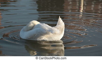 Beautiful white swan cleans its feathers