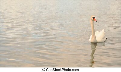 Beautiful white Swan floating in the lake, outdoors in the Park HD 1920x1080