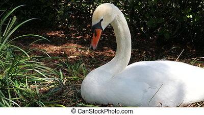 White Swan Lying On The Nest - Beautiful White Swan Lying On...