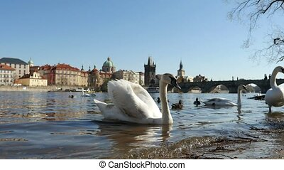 Beautiful white swan moving on a river bank from water in Prague in slow motion