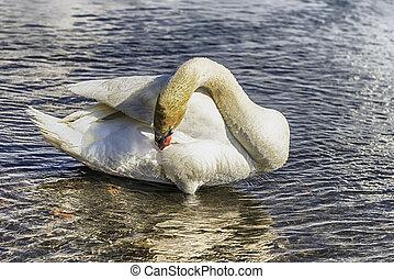 Beautiful white swan on the lake Bracciano, Italy
