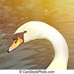 Beautiful white swan portrait