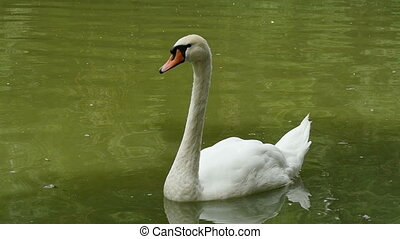 Beautiful white swan swimming in a pond with green water in summer in slo-mo