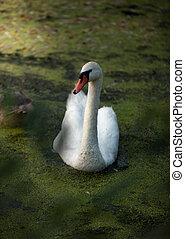 white swan swimming on lake at sunset
