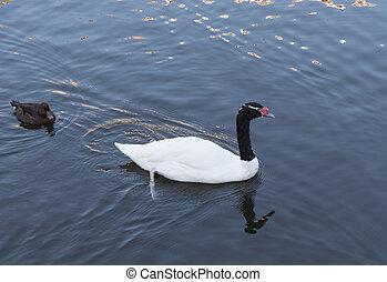 Beautiful white swan with red beak swimming in lake, slow...