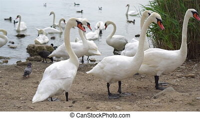 Beautiful white swans on the lake