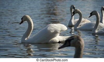Beautiful white  swans are on the surface of a picturesque river in slow motion