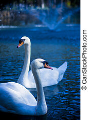 Beautiful white swans on a lake at night