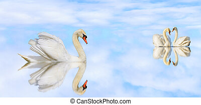 beautiful white swans on a quiet lake with reflection