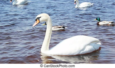 Beautiful white swans on the river - Beautiful white swans...