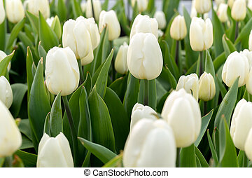 Beautiful white tulips Flower background with sunlight.
