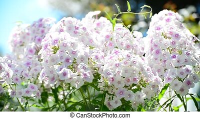 Beautiful white varietal phlox close-up