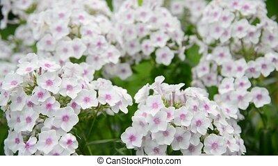 Beautiful white varietal phlox close-up - Beautiful white...