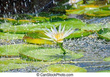 Beautiful white water lily