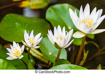 beautiful white water lily or lotus flower