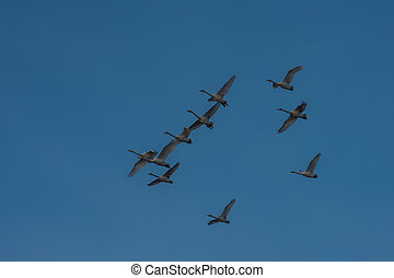 Beautiful white whooping swans - Flying white whooping swans...