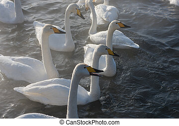 Beautiful white whooping swans swimming in the nonfreezing...