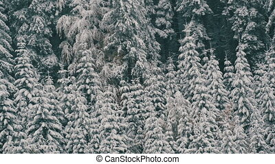 Beautiful, white, wild snow-covered treetops. Carpathian mountains in October, the first snow in the highlands