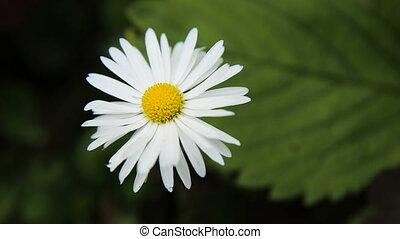 Beautiful white wildflower. - Closeup on beautiful purple...