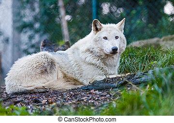 Beautiful white wolf - Photo of a beautiful white wolf lying...