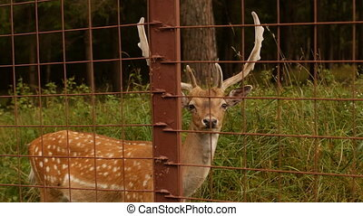 Beautiful wild animal spotted deer with horns on the...