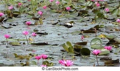 Beautiful wild bird (Pheasant-tailed Jacana ) in the lake of...