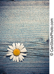 Beautiful wild chamomile flower on blue wooden background